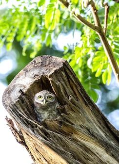 Uil (gevlekte owlet) in holtenaard