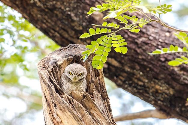 Uil, gevlekte uil (athene brama) kijken in de natuur