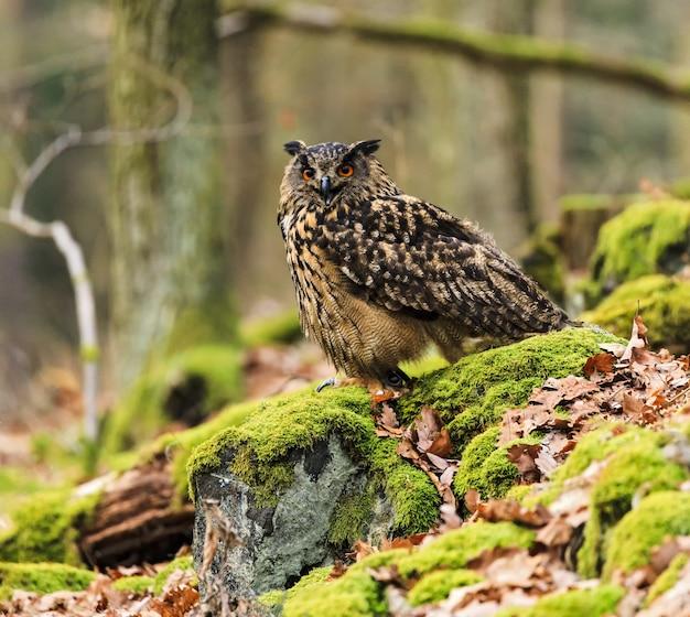 Uil in het bos aan de voorkant kijken