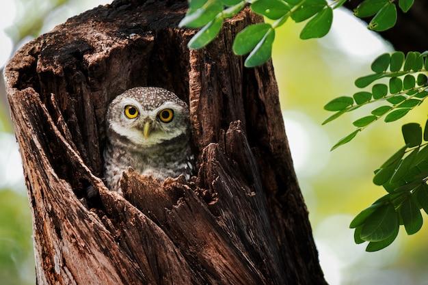 Uil kijken in een boomgat