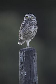 Uil met mooie gele ogen zittend op een houten kolom