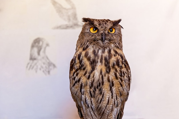 Uil poseert op de witte achtergrond, nachtuil vogel