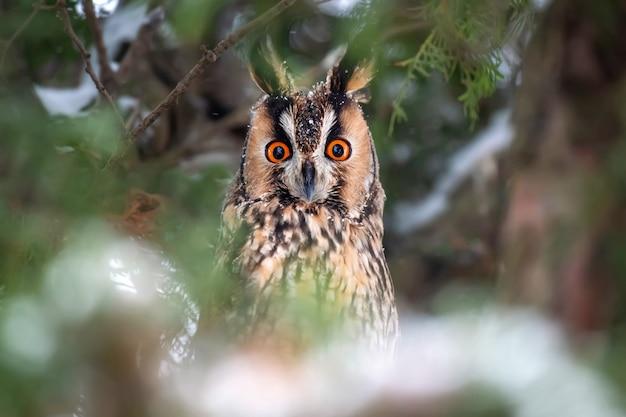 Uil zit in een boom en kijkt starend