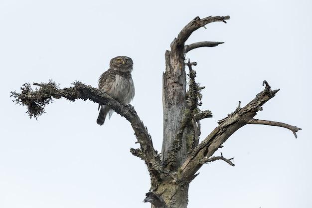 Uil zittend op de boomstam en camera kijken