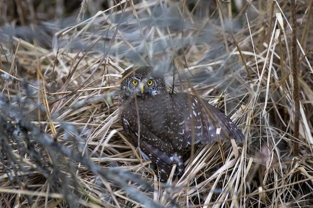 Uil zittend op een tak en op zoek naar camera