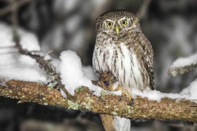 Uil zittend op met sneeuw bedekte tak