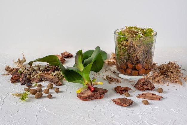 Uitbreiding van orchideeënwortels. reanimatie van planten. nat mos erin