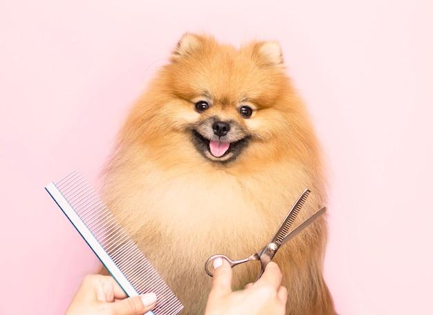 Uiterlijke verzorging. een lachende pommerse hond wordt geknipt in een dierenverzorgingssalon. detailopname. roze achtergrond. schaar en een kam bij de snuit van de hond.