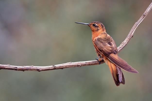 Uiterst kleine kolibrie die op een tak rust