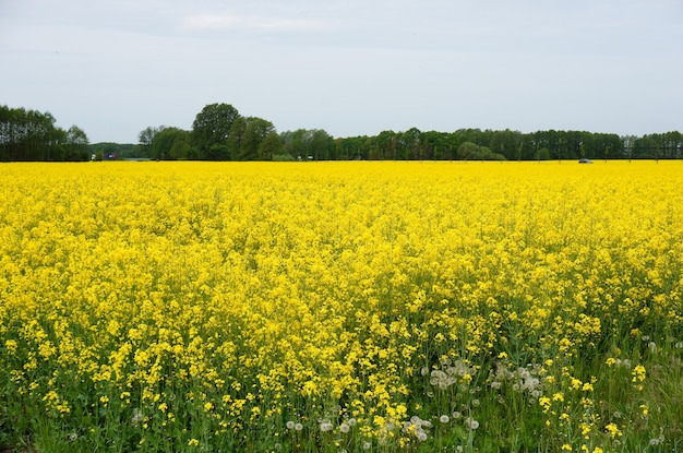 Uitgestrekt veld vol gele veldbloemen