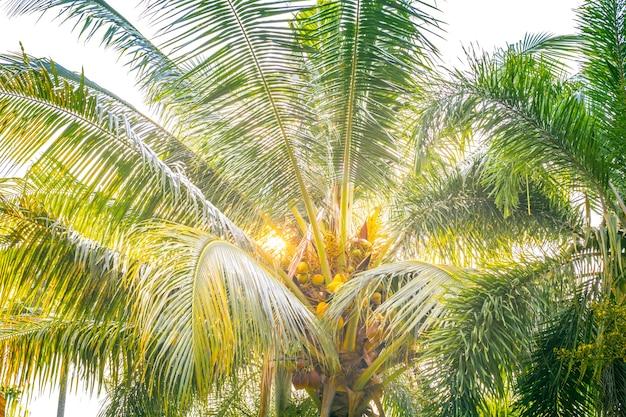 Uitgestrekte palmtakken met kokosnoten in de zon