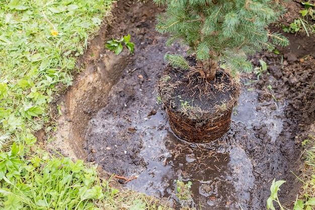 Uitgraven, tuinman herplant kleine naaldboom, wortelstelsel, seizoenswerk. zomertuin. verplanten plant.