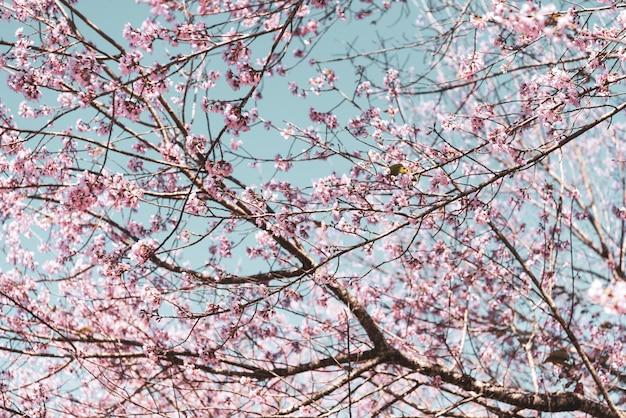 Uitstekende dichte omhooggaande wilde himalayan-kersenbloesems die (prunus-cerasoides) op boom bloeien
