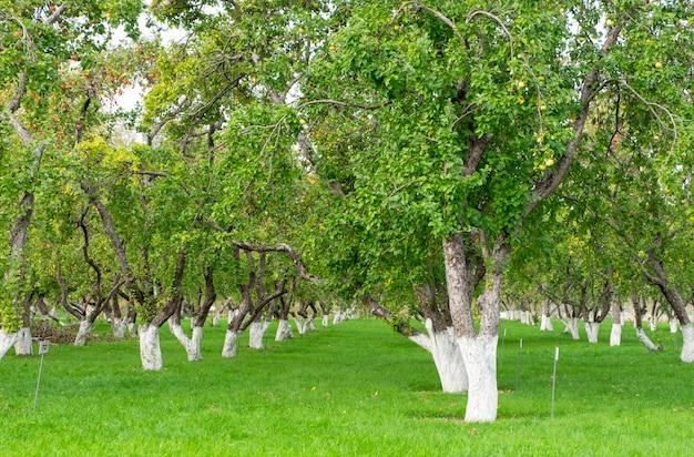 Uitzicht op de appelboomgaard. appelbomen met rijpe vruchten in de tuin in de nazomer of vroege herfst.