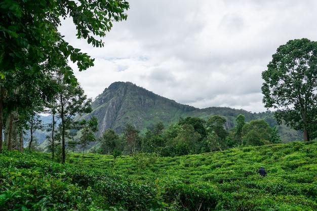 Uitzicht op de thee velden onder de rotsachtige bergen little adam's peak, ella, sri lanka