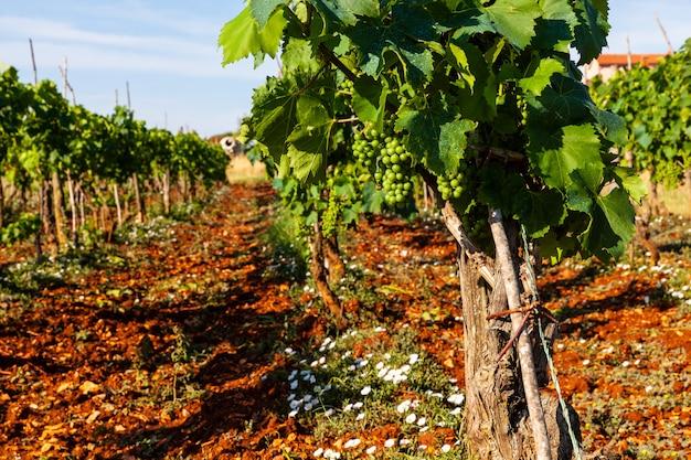 Uitzicht op de wijngaarden op het platteland van istrië
