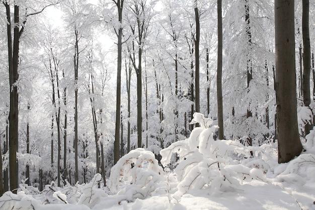 Uitzicht op de winter beukenbos op een ijzige, zonnige ochtend
