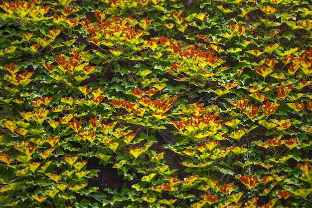 Uitzicht op gevel met muur, bedekt door overwoekerde klimplantplant.