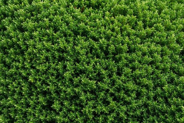 Uitzicht op groenblijvende buxusstruiken