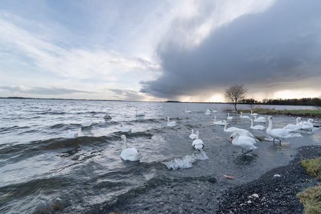Uitzicht op het meer met lage lucht en zwanen zwemt in ruw water. mooi landschap met wolken boven het meer.