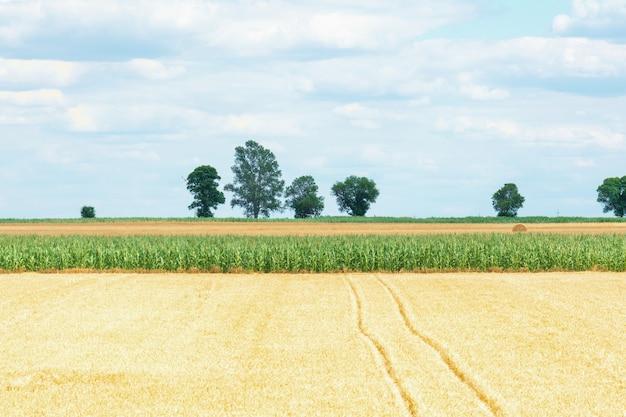 Uitzicht op het veld met rijpe tarwe en maïs