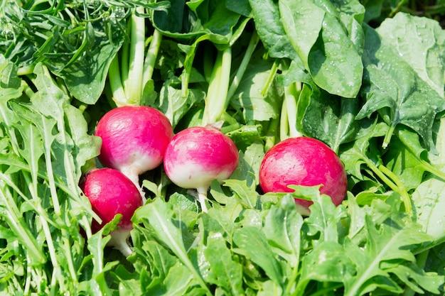 Uitzicht op verse radijs, rucola, spinazie en dille. voedselconcept, planten.