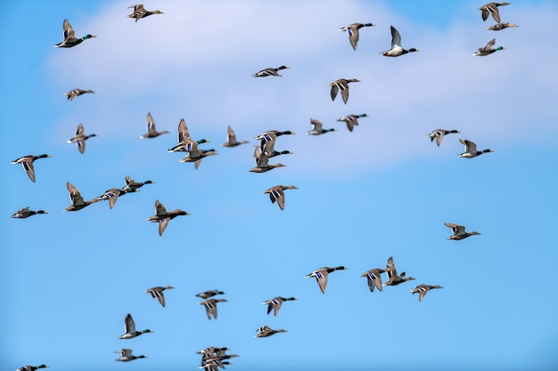 Uitzicht op vliegende kudde veel bruine wilde eenden en wilde eenden in de blauwe lucht