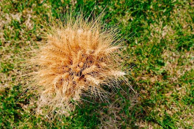 Uitzicht van boven. boeket van gouden tarwe oren op groen gras. hooiberg. het concept van het oogsten van granen.