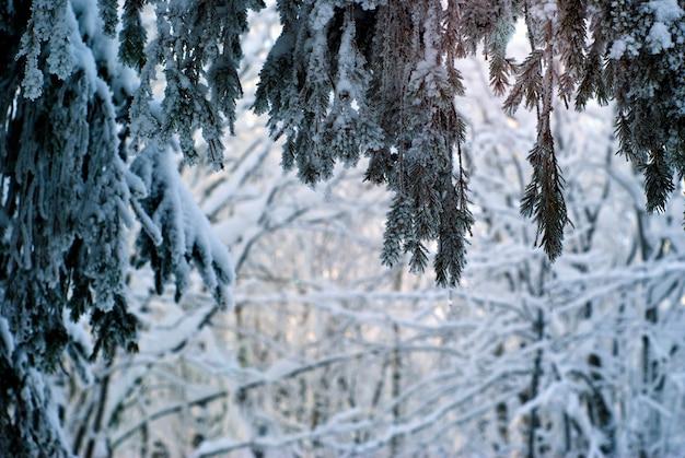 Uitzicht van onder de spar door de bevroren takken in het avondwinterbos