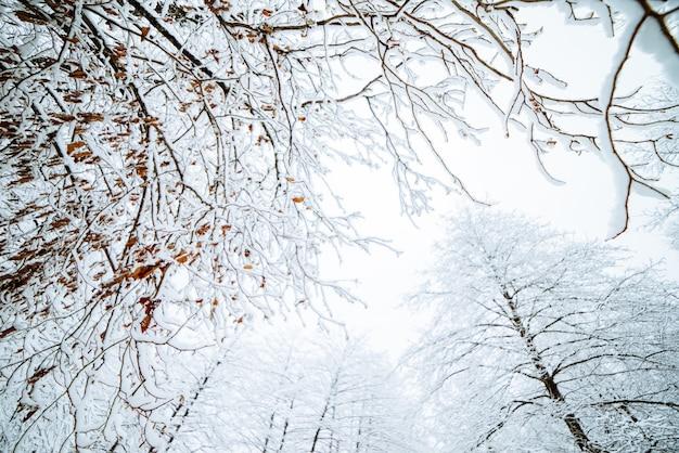 Uitzicht van onderaf op besneeuwde takken van bomen, winterse natuur en kou
