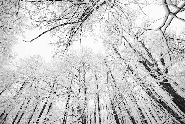 Uitzicht van onderaf op bomen in het bos bedekt met witte sneeuw