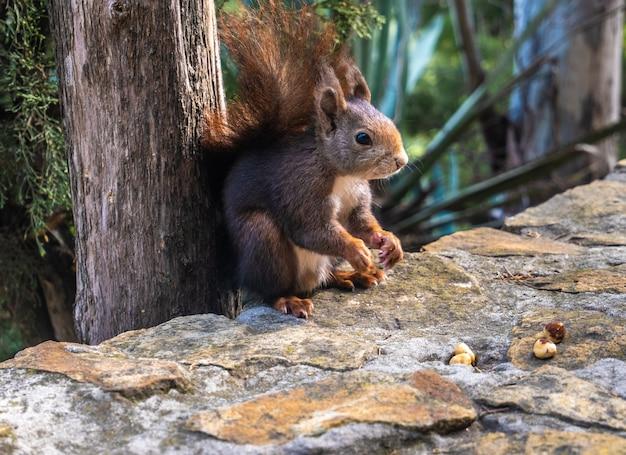 Uitzicht vanaf close-up van rode eekhoorn die noten eet.