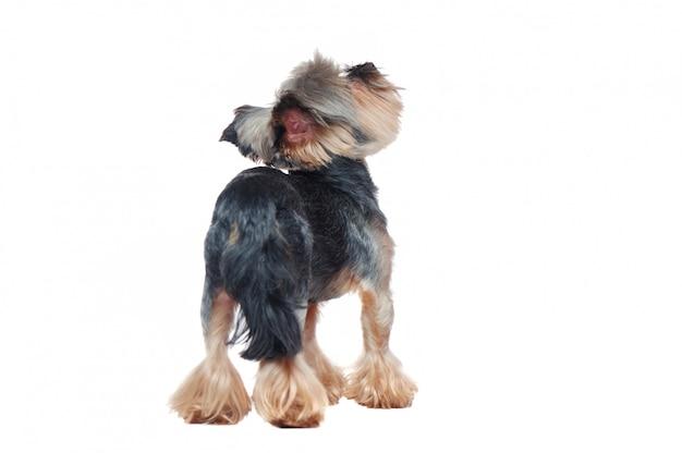 Uitzicht vanaf de achterkant van een staande in een witte yorkie puppy