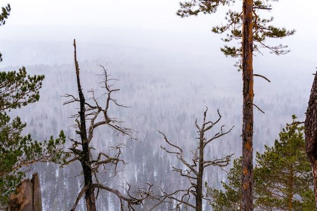 Uitzicht vanaf de berg naar het bos tijdens een sneeuwval met verbrande dennen op de voorgrond
