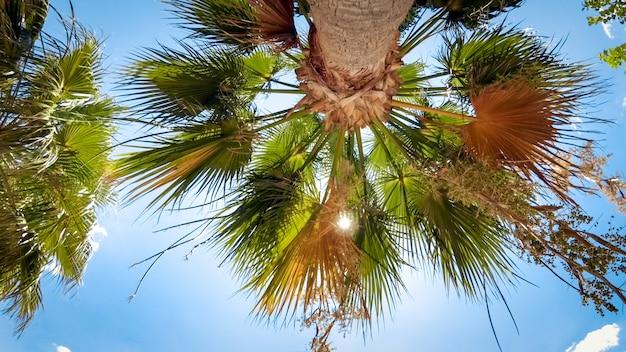 Uitzicht vanaf de grond op de top van de palmboom tegen de blauwe lucht.