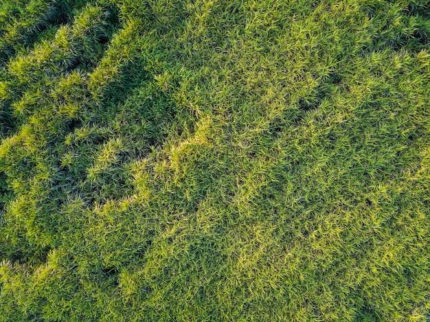 Uitzicht vanaf drone suikerriet veld met zonsondergang hemel natuur landschap achtergrond