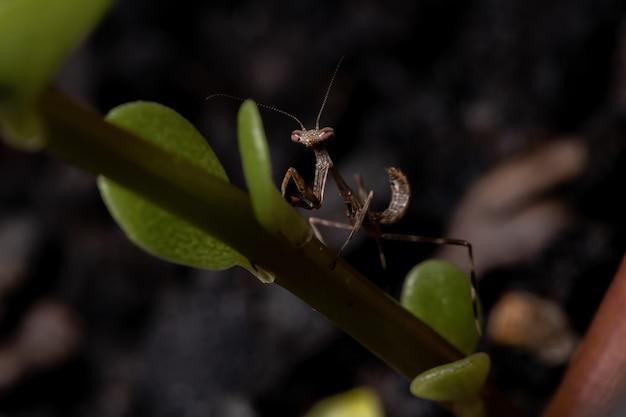 Unicorn mantis nimf van het geslacht stagmatoptera
