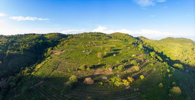 Unieke luchtfoto van theeplantage op heuvel. camelia groene theegewassen in rijpatroon. heldere blauwe lucht, zonsondergang licht. landbouwgrond in noord-laos