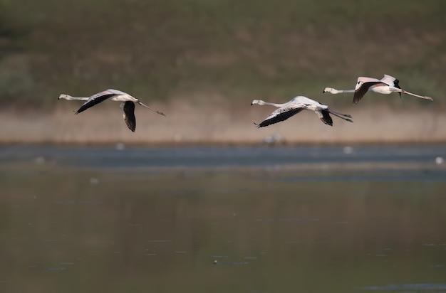 Unieke shots van roze flamingo's die per ongeluk over de tiligulsky-monding in oekraïne vliegen.