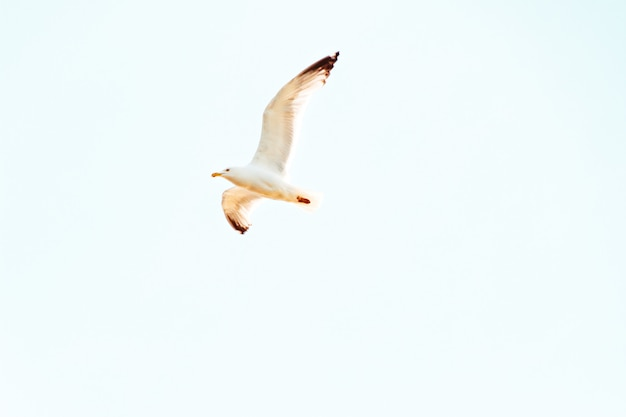 Upshot van een zeemeeuw die boven op een zonnige dag met duidelijke blauwe hemel vliegt