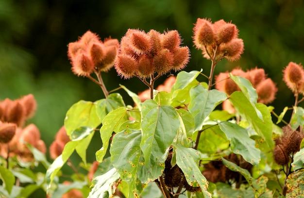 Urucum (annatto), planten met hun vruchten.