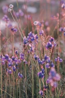 Utricularia delphinioides is een insectenetende plant in de wong suoi wanna familie kruidachtige plant de bloemen zijn boeket van donkerpaars.