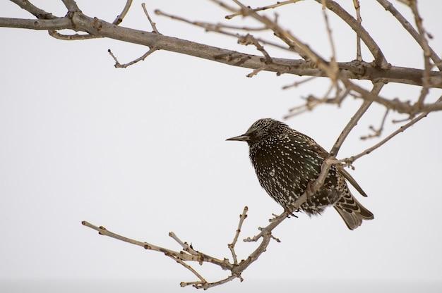 Vadnais heights, minnesota. spreeuw, sturnus vulgaris in de winter met wintervacht van veren.