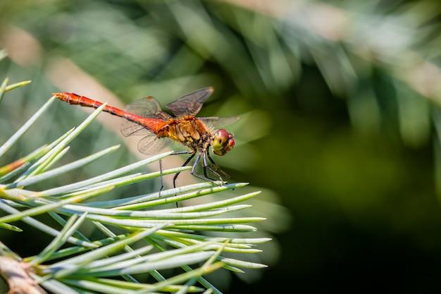 Vagrant heidelibel libel zittend op een pijnboom