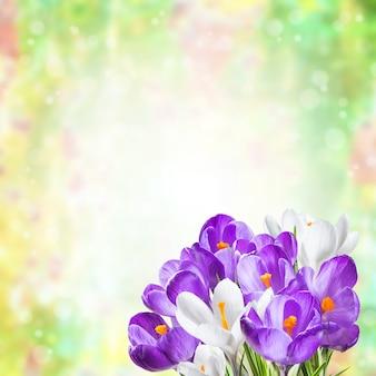 Vakantie achtergrond met krokus bloemen, prachtige natuur achtergrond
