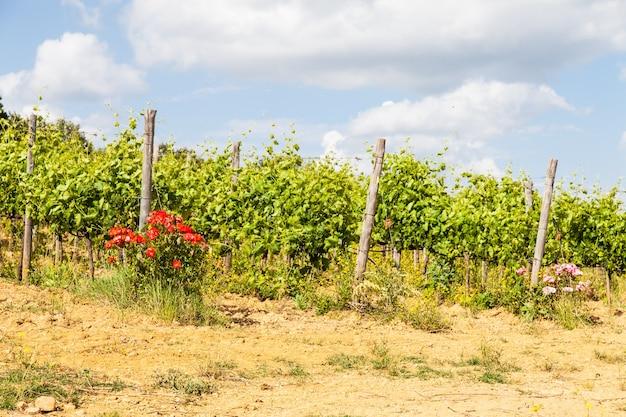 Val orcia, regio toscane, italië. het gebruik van rozen als insectenwerend middel is nog steeds een gewoonte in toscaanse wijngaarden