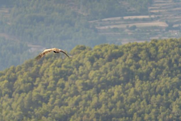 Vale gier (fulvus gips) tijdens de vlucht.