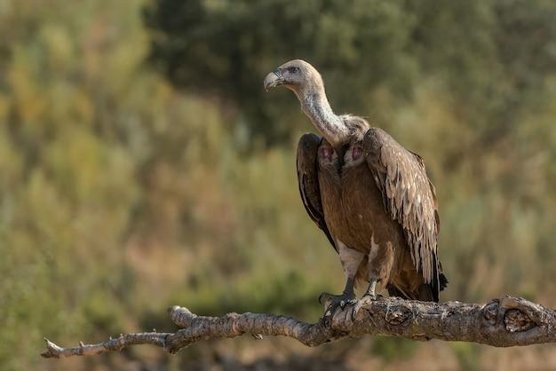 Vale gier gyps fulvus roofvogel