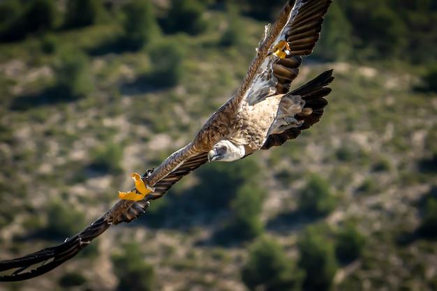 Vale gier (gyps fulvus) tijdens de vlucht, alcoy, valenciaanse gemeenschap, spanje.