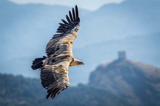 Vale gier (gyps fulvus) tijdens de vlucht met het kasteel van cocentaina op de achtergrond, alcoy, valenciaanse gemeenschap, spanje.